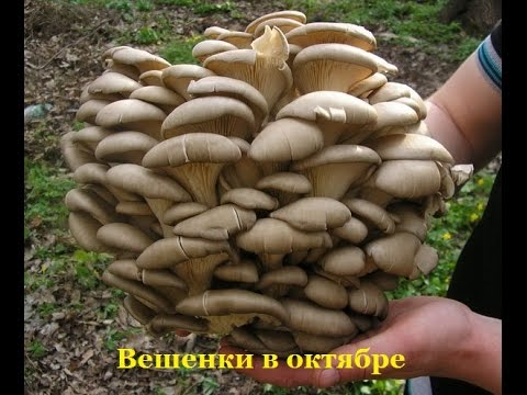 Вешенка степная (фото) - Съедобные грибы