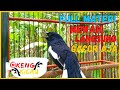 Suara Pancingan Kacer Gacor Konslet Full Nembak Isian Mewah Cocok Buat Kacer Yang Males Bunyi  Mp3 - Mp4 Download