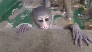 マンドリルの赤ちゃん ⑪ 2018-10-02 (生後38日) 京都市動物園 thumbnail