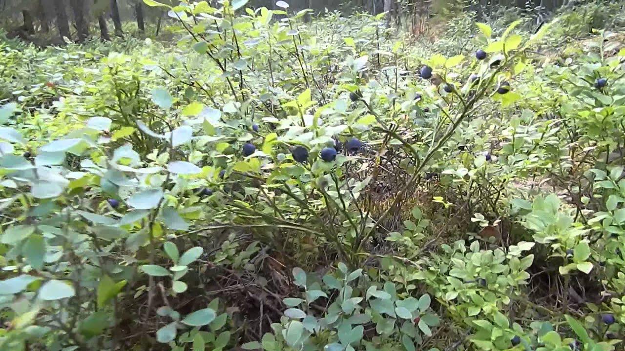 Как найти в лесу чернику