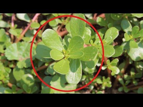Портулак если увидите это растение, ни в коем случае не уничтожайте его! Узнайте почему!