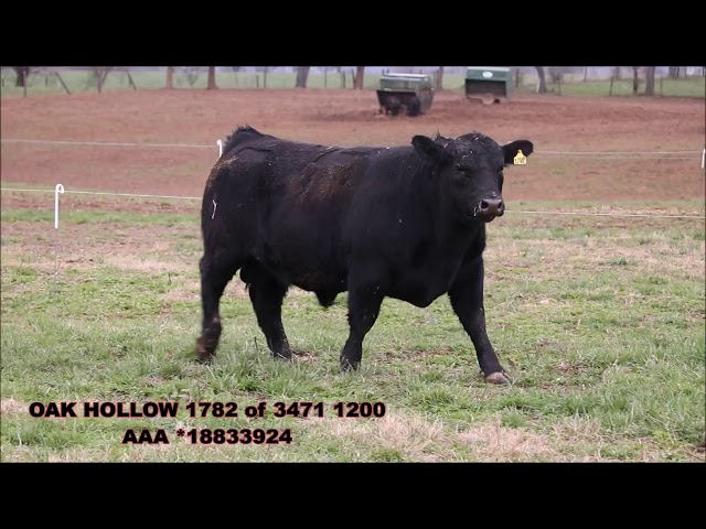 Oak Hollow Angus Lot 6