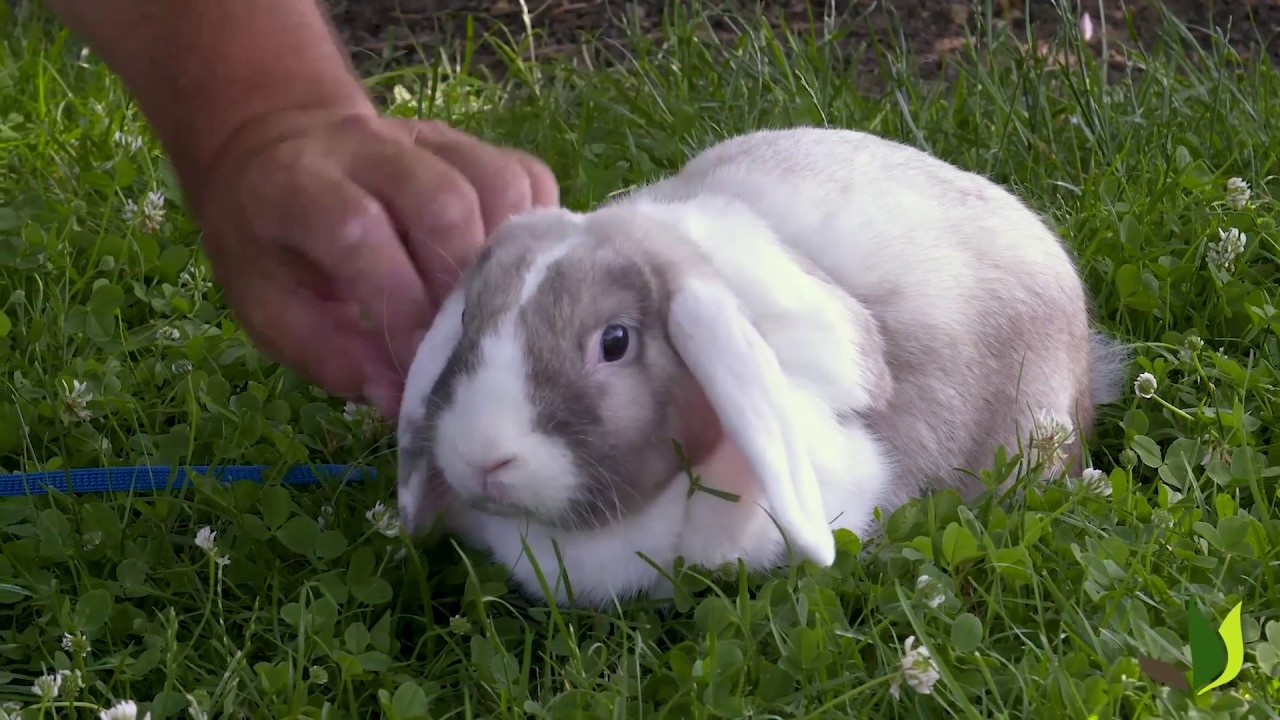 PORTRAIT] PanPan le lapin bélier nain - Jardinerie Truffaut TV - YouTube