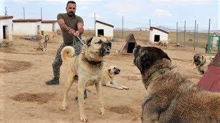 60 TANE KANGAL KÖPEĞİNİN ARASINA GİRDİK  SİVASIN ASLANLARI KANGAL KÖPEKLERİ  Turkısh kangal dogs