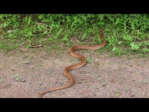 Banded Racer Snake (Non-venomous) धुळ नागीन साप (बिष हिन) Wildlife rescue society Ahmednagar