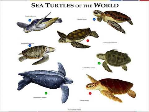 sea turtles, types of sea turtles, Leatherback Sea Turtle, Green Sea Turtle, game for biology class