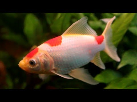 Hints On How To Keep The Goldfish - Sarasa Comet