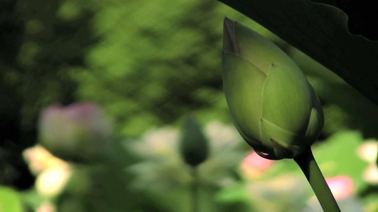 Sacred Lotus In Bloom Youtube