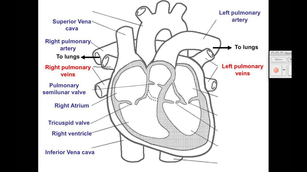 Labeled Diagram Of Heart On Base 350 Oil Flow Video 1 Cardiovascular Youtube
