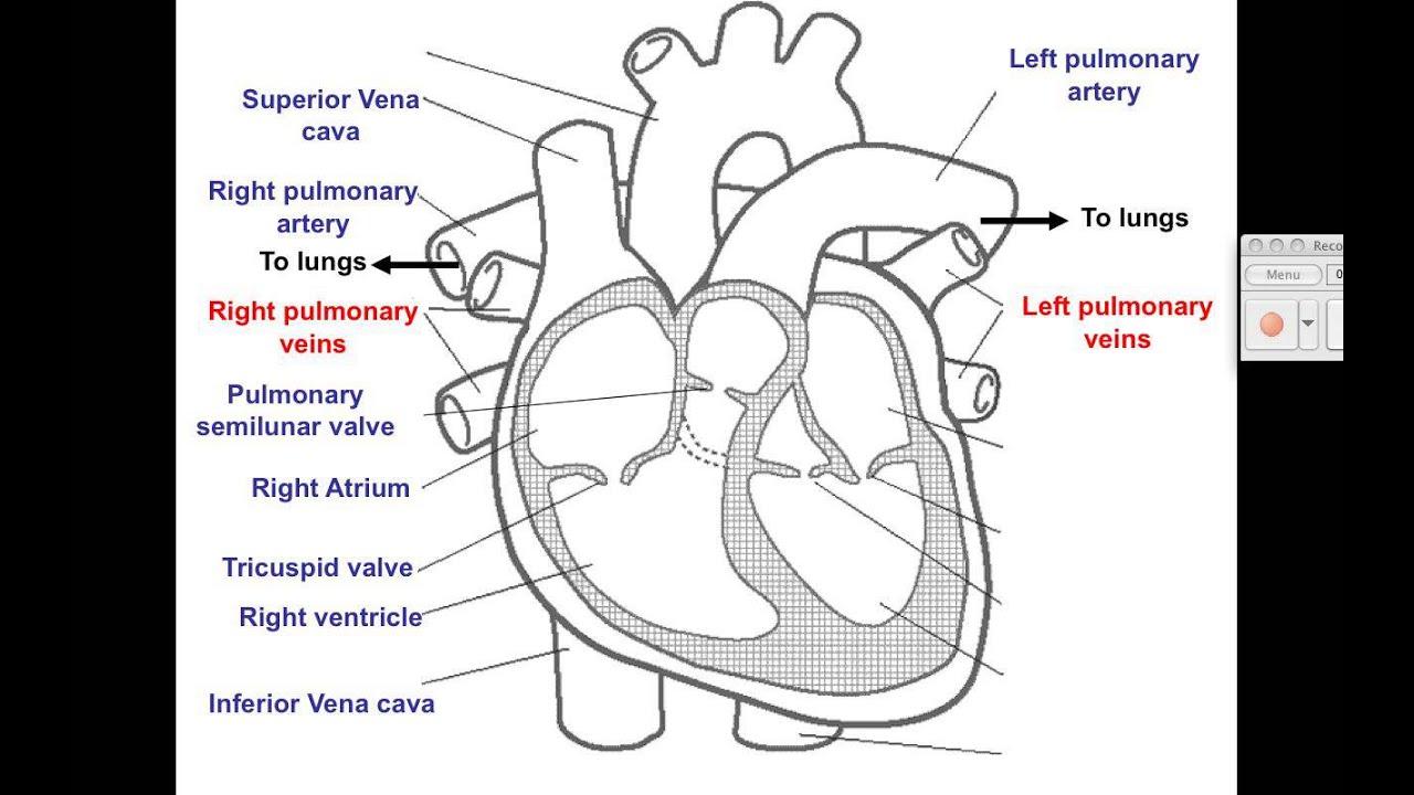 video 1 cardiovascular heart diagram [ 1280 x 720 Pixel ]