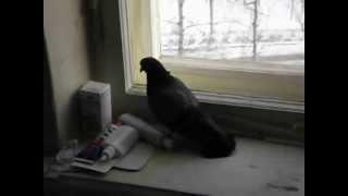 Голубь, залетевший в кухню через вытяжку(, 2013-02-21T10:33:06.000Z)
