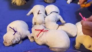West Highland White Terrier Bessie's Puppies Born Oct 7 2020