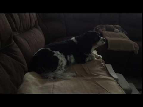 Nilla staying cool and growling at DogTV