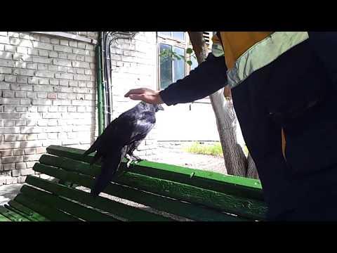 ручной говорящий ворон
