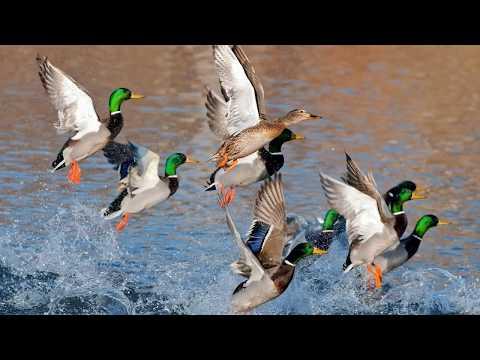 Голоса птиц Как поют Утки (Anatinae)