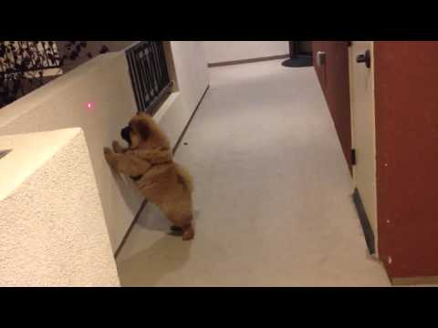 Chow Chow Puppy Going Ccrazy!