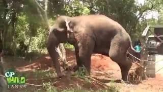 Huge Elephant Capture !
