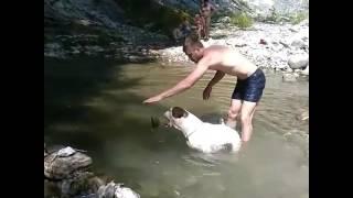 Американский бульдог собака хорошая во всем))) водолаз
