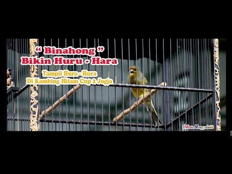 Download Lagu SUARA BURUNG : Kenari Huru - Hara Tampil Hura - Hura Di kambing Hitam Cup  2 Jogja