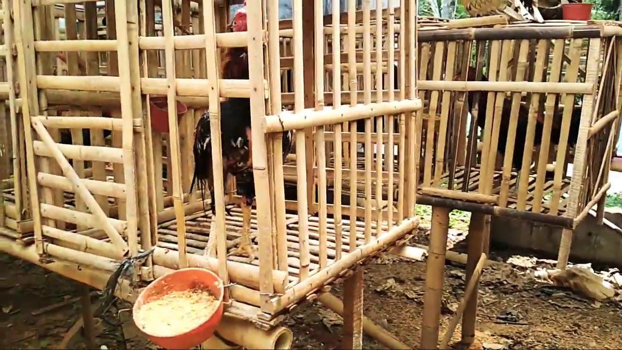 Cara penataan Kandang Ayam Bangkok untuk jantan Jawa super ...