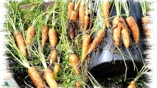 How to grow carrots in pots or containers. Top tips and advise.
