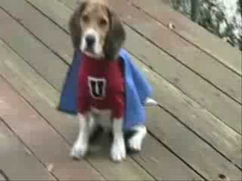 Beagle Super Dog
