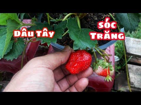 Thu Hoạch Dâu Tây Chịu Nhiệt Sóc Trăng || RB Vlogs