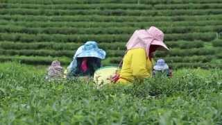 Tips Thailand | Choui Fong Tea Plantation @ Chiang Rai | HD 1080p