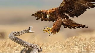 Eagles Vs Snake  - Snake Try To Escape From Eagle Hunting But Fail - Wild Animals Fight thumbnail