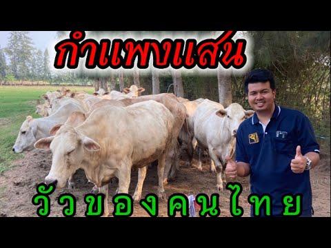 โคเนื้อกำแพงแสน โคเนื้อพันธุ์ของคนไทยพัฒนาสายพันธุ์ขึ้นมาเป็นวัวเลือด 100 อ.กำแพงแสน จ.นครปฐม