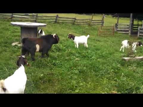Boer Buck working his does during breeding season