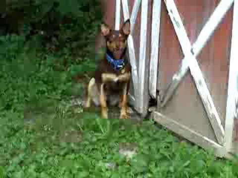 Australian Kelpie, -Retic- Search Dog Training
