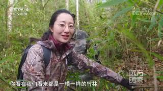 [远方的家]大熊猫国家公园佛坪管理分局 密林追踪 搜索野生大熊猫踪迹| CCTV中文国际 - YouTube
