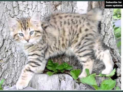 Orange American Bobtail | Collection Of Cat Breed Pictures