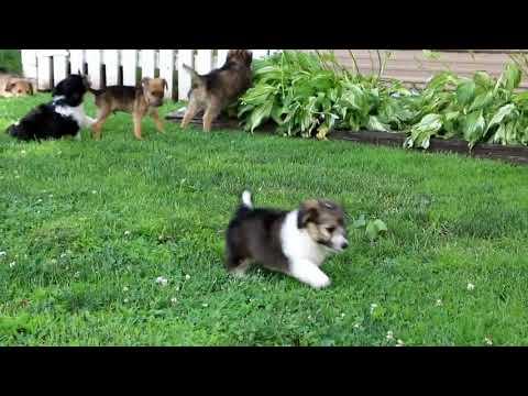 Shetland Sheepdog Mix Puppies For Sale