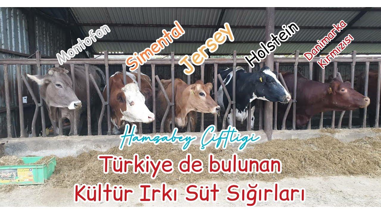 Sütçü Sığır Irkları