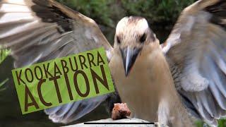iPhone X | filmic pro | Kookaburra Action