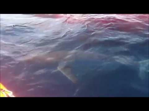 Fou - Tunisie - Un dauphine se fait dévorer par des requins - live