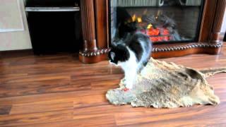 Моя кошка сибирская играет с резинкой :)