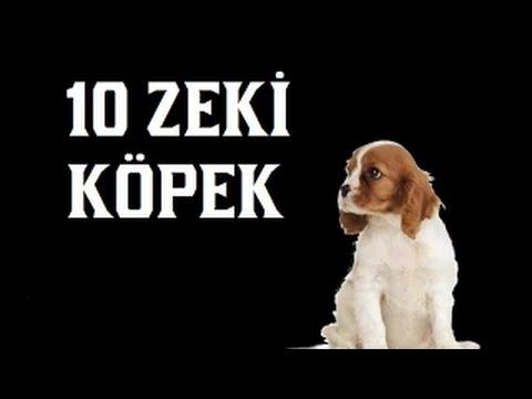 Hayvan Dostu : Dünyanın En Zeki 10 Köpek Cinsi