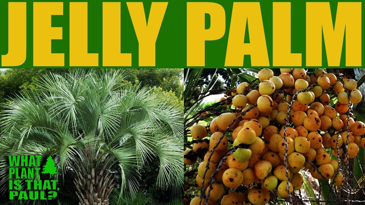 Jelly Palm Or Pindo Butia Capitata Drought Tolerant And Thrives In Full To Partial Sun