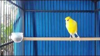 Kenari prestasi gaya mewah ( canary champion and best show )