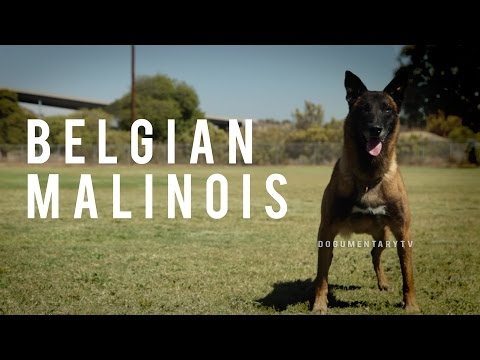 BELGIAN MALINOIS: THE SHEPHERD WITH A PIT BULL'S SPIRIT