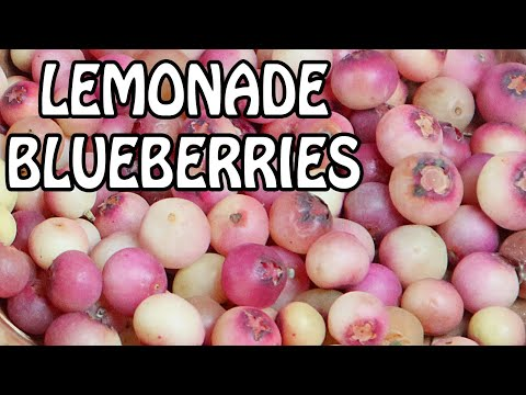PINK LEMONADE BLUEBERRY : Does It Taste Like Lemonade?- Weird Fruit Explorer Ep. 390