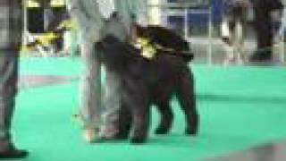 World Dog ShowPoznań 2006Bouvier des Flandres ;Open Class