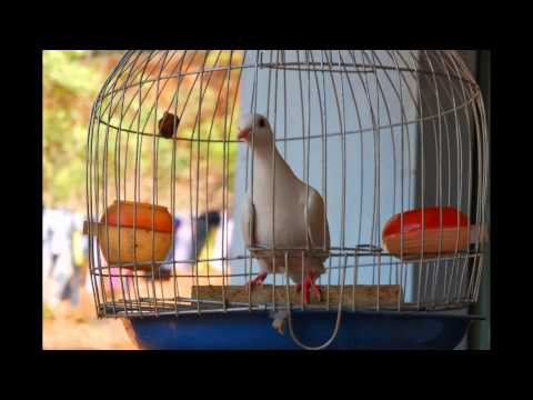 chim cu gay bach tang binh phuoc 0949216589