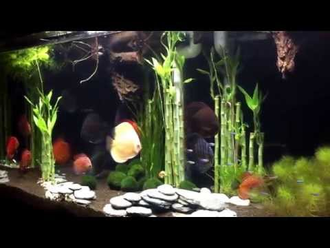 Wong Aquascapes: Discus:  Lucky Bamboo Forrest