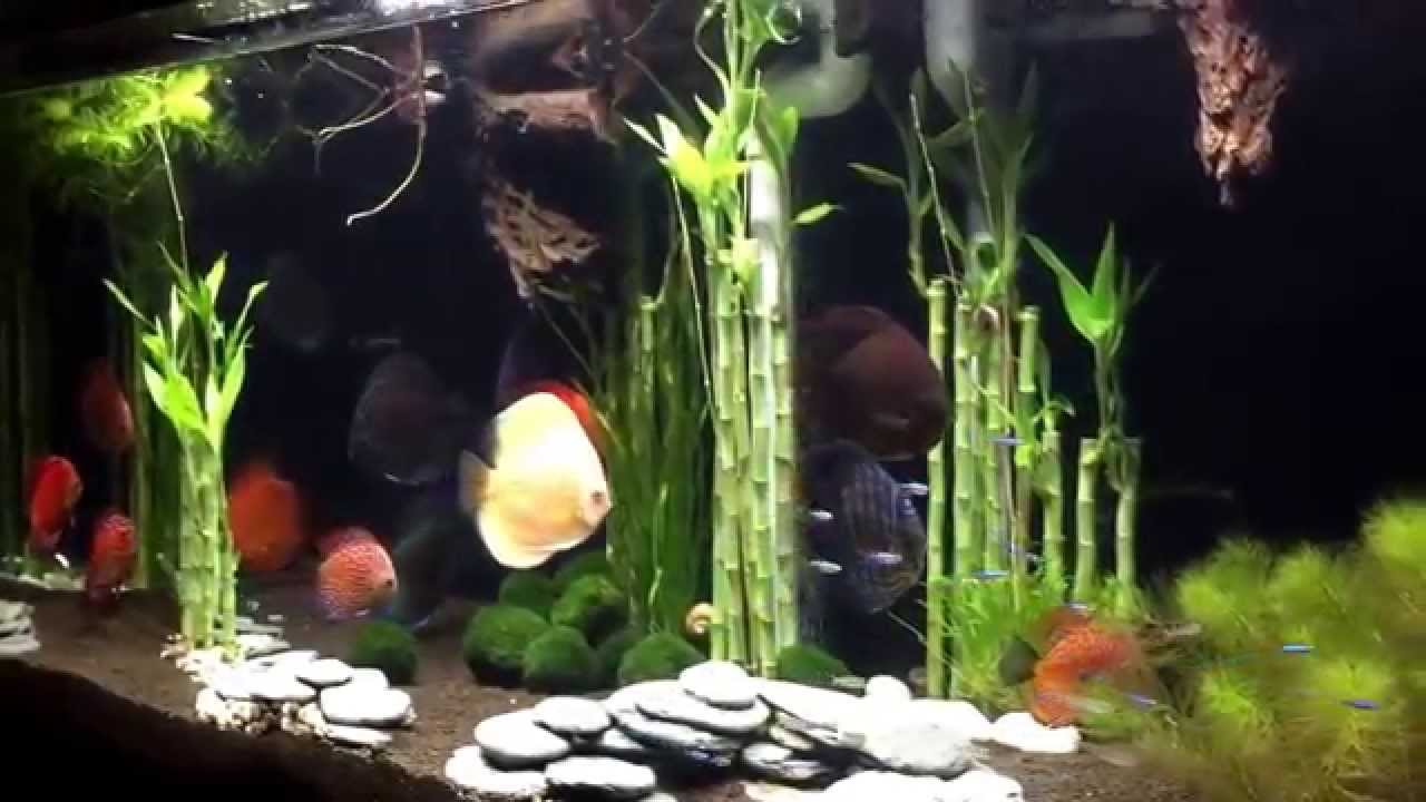 Marvelous Wong Aquascapes: Discus: Lucky Bamboo Forrest   YouTube