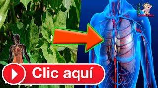 Chaya: Sus beneficios, propiedades medicinales y precauciones.