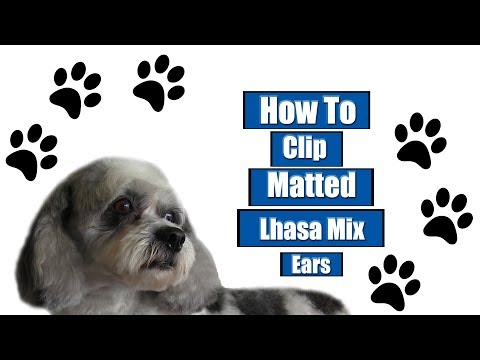 How To Clip Matted Lhasa Mix Ears